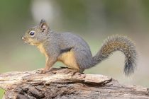 Not-Dehydrated Squirrels:  How Hibernating Squirrels Stay Hydrated