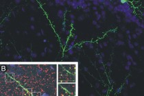 Smell then tell: New neurons in the adult brain receive signals before forming synapses of their own