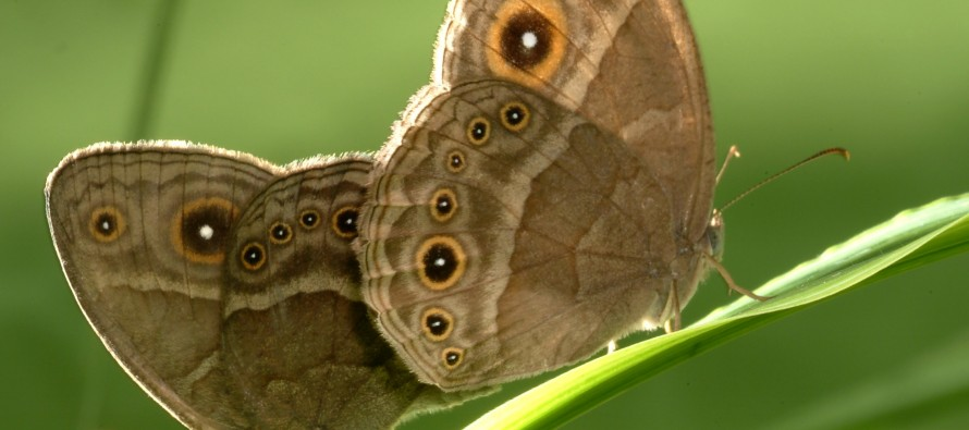Role Reversal:  How One Species of Butterfly Defies Expectations