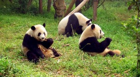 What's Black, White, and Immune? Powerful Innate Antibiotic Found in Pandas