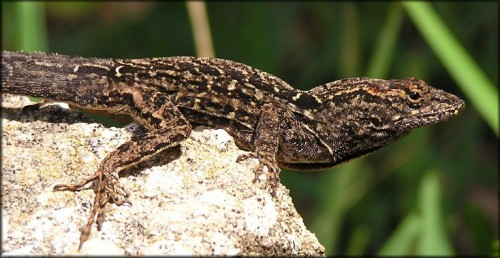 A type of anole lizard in the Bahamas has developed shorter legs to adapt to urban vegetation. Courtesy of Reptile Place.