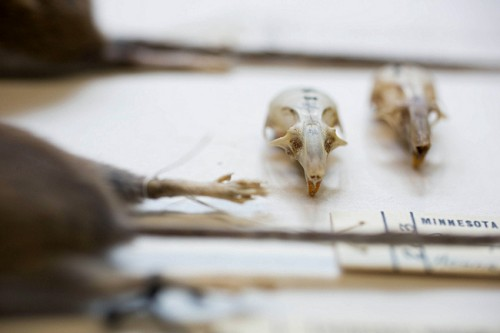Snell-Rood and Wick measured mouse skulls in order to estimate their brain size. Courtesy of Jennifer Simonson.