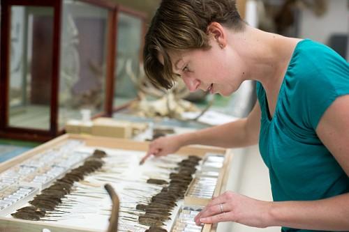 Evolutionary biologist Emilie Snell-Rood examines shrew specimens at the University of Minnesota Bell Museum. Courtesy of Jennifer Simonson.
