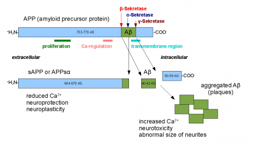 Amyloid beta precursor protein, when cut by the incorrect secretase enzyme, can form amyloid beta plaques, leading to Alzheimer's disease. Courtesy of Professor Joseph Wolenski.