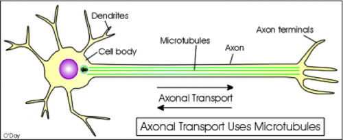 There are many components to an axonal cell, however the microtubular function and vesicle transport is affected by hyperphosphorylation of tau. Courtesy of Professor Joseph Wolenski.
