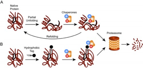 A diagram showing how adding a special tag can make a protein a target of the proteasome, which is responsible for its degradation. (Courtesy of crewslab.yale.edu)