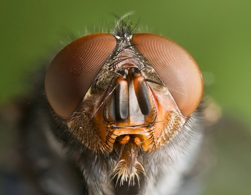 Calliphora vomitoria: a type of meat-eating blowfly that Calvignac-Spencer used in the 2013 study. Photo courtesy of JJ Harrison.