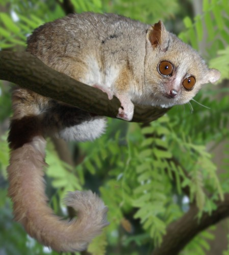 Examination of the gut material in flies from the Kirindy Forest of Madagascar revealed traces of DNA from the grey mouse lemur (Microcebus murinus). Photo courtesy of Gabriella Skollar.