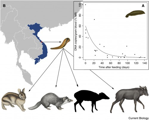 Gilbert's 2012 study of leeches in Vietnam revealed traces of DNA from 6 mammals, 4 of which are pictured here. From left to right: Annamite striped rabbit, small-toothed ferret-badger, Truong Son munjtac (coat coloration and markings remain unknown), serow. The inset shows the decay of DNA within a leech over time. Image courtesy of Current Biology.