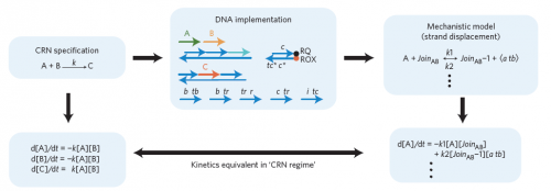 A schematic diagram showing the relationship between chemical reaction network (CRN) specification, DNA implementation, and the mechanistic mathematical model. Image courtesy of Nature Nanotechnology.