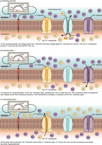 Potassium and Sodium ions are essential for the transmission of electrical currents through the human nerve system. Ionic devices could thus potentially be integrated into the human body. Courtesy of Robert Bear via Connexions.