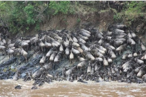 Wildebeest like these are one example of the large animals that regularly travel across the Mara, trafficking organic materials into the river as they go. Courtesy of Amanda Subalusky and Christopher Dutton.