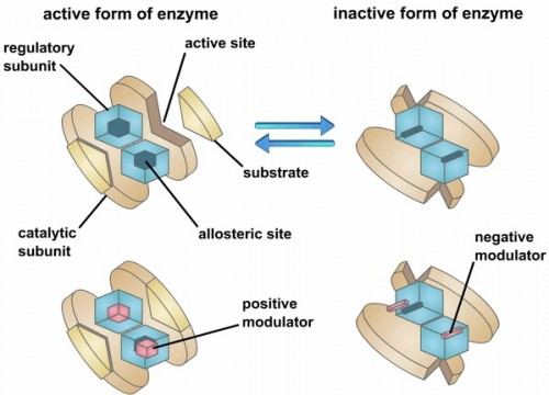 This enzyme is multimeric, or polymeric, as it has two or more subunits. The enzyme not only has an active site, but also has another site, the allosteric site, at which molecules other than the substrate can bind and influence the activity of the enzyme. Enzymes with allosteric sites are known as allosteric enzymes. Courtesy of G.R. Kantharaj, Bangalore University.