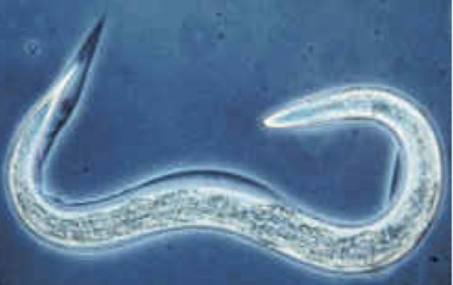 C. elegans, a roundworm commonly found in rotting fruit, is a popular model organism in many fields of research. Courtesy of the Massachusetts Institute of Technology.