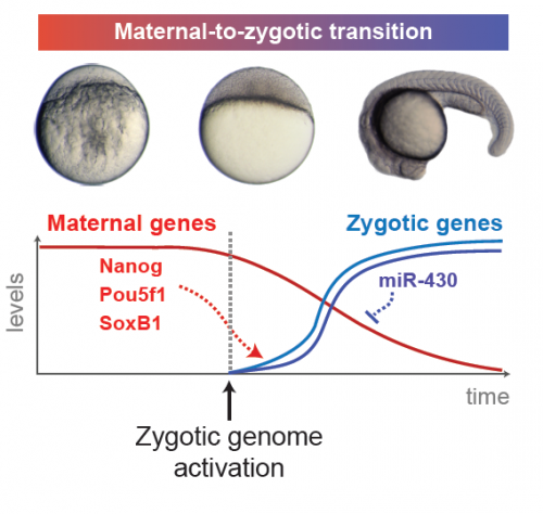 Gene expression dynamics during early embryogenesis. On top, zebrafish embryos are shown just after fertilization, just after zygotic genome activation, and at approximately 21 hours after fertilization. The maternal gene products Nanog, Pou5f1, and SoxB1 induce expression of zygotic genes, and subsequently one of those zygotic genes, miR-430, represses the activity of maternal genes. Image Courtesy of Miler Lee.