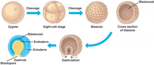 The early stages of embryonic development. Image Courtesy of Quia Web.