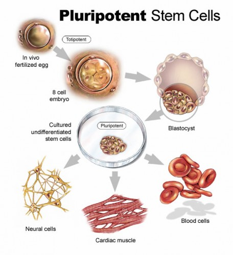 Nanog, Pou5f1, and Sox19b, which were shown to control zygotic genome activation, are also the master regulators of stem cell pluripotency. Image Courtesy of Brown University Division of Biology and Medicine.