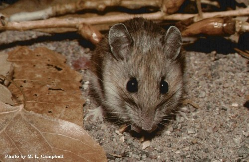 A white-footed mouse (Peromyscus leucopus), one of two species in Snell-Rood's study that displayed a difference in brain size between urban and rural populations. Courtesy of M.L. Campbell.