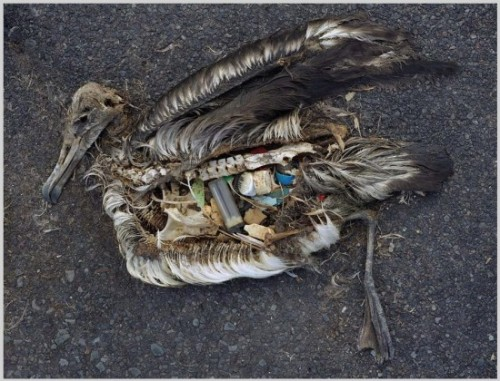 This bird's stomach contents are almost entirely composed of plastics, which were the likely cause of its death.  Courtesy of Chris Jordan.