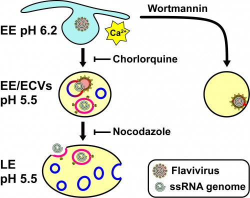 Illustration of the flavivirus infection pathway, as the virus enters enters an early endosome, fuses with an endosomal carrier vesicle (ECV), and then releases its genetic material when the ECV back-fuses with the late endosomal membrane. Courtesy of Yorgo Modis.