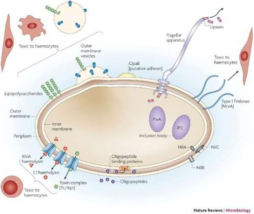 Mechanisms of host interaction in the Xenorhabdus nematophila bacterium. Once regurgitated by nematodes in host insects, the bacterium utilizes various secondary metabolites acting as immunomodulators, insecticides and more. Photo courtesy of Nature.