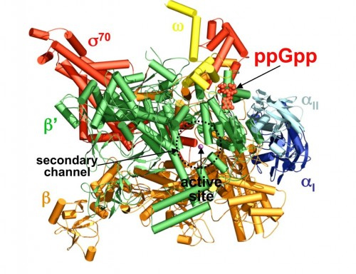A computer-generated schematic of ppGpp and RNA polymerase. Surprisingly, ppGpp does not bind to polymerase's active site. Photo courtesy of Yuhong Zuo, Yeming Wang, Thomas A. Steitz.