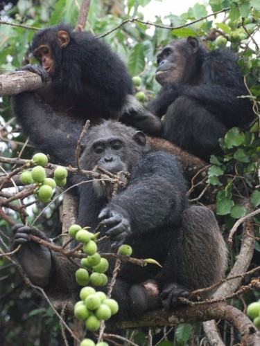 Chimpanzees living in Gombe Stream National Park in Tanzania were the subjects of the study. Fecal samples were collected from six chimpanzees over a span of 9 years. Photo courtesy of Andrew Moeller, taken by Ian Gilb.