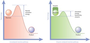 An enzyme speeds up biochemical reactions by lowering the energy needed for them to occur. Image courtesy of Nature Education.