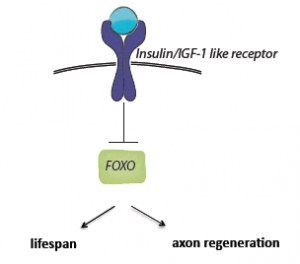 One of the most interesting discoveries in this study is that insulin may regulate aging and neuron axon regeneration in two separate pathways. This suggests that degenerative neuron diseases such as Alzheimer's disease, which worsen with age, may be treatable. Courtesy of Alexandra Byrne.