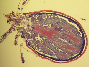 Pictured here is a whole sectioned nymphal tick showing the blood-filled tick gut diverticula. It has been magnified ten times and visualized using a Hematoxylin and Eosin stain. Courtesy of Dr. Sukanya Narasimhan, Yale University Department of Internal Medicine.