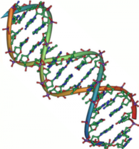 A double stranded DNA helix. Even a tiny mutation in a person's DNA can lead to enormously destructive diseases. Courtesy of Wikimedia Commons.
