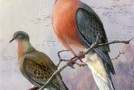 A Flight of Fancy: New efforts could bring back the passenger pigeon