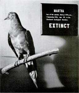Martha, the last surviving passenger pigeon, died in captivity in 1914, leading to the extinction of her species. She is now being displayed at the Smithsonian institution.