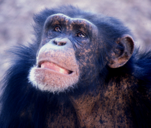 Chimpanzees: humans' most closely related relatives genetically.