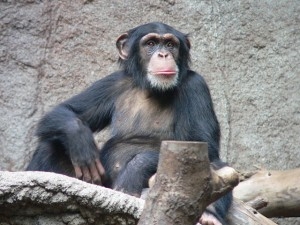 In certain ways, chimpanzees may surpass us.