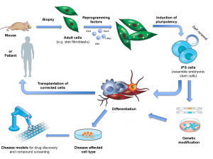 Derived through the reprogramming of adult cells, iPSCs resemble embryonic stem cells and can be differentiated into any type of cell to study disease, test drugs or - after gene correction - develop future cell therapies. Image Courtesy of EuroStemCell and Michael Rossbach