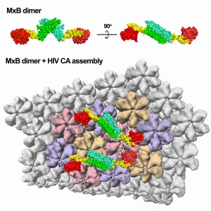Structure of MxB and model of the MxB dimer bound to the HIV capsid. Image courtesy of Yong Xiong.