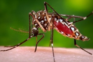 A photo of adult Aedes aegypti feeding on a human. A. aegypti are the vector of multiple tropical disease, including the debilitating sickness, dengue.  Image courtesy of the Centers for Disease Control.