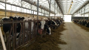 Manure from dairy cows is commonly used as a fertilizer, especially in organic farming. In a recent Yale study, researchers found that treating soil with manure from the dairy cows shown here heightens the levels of antibiotic-resistant bacteria in the soil. Image courtesy Nikolina Udikovic-Kolic