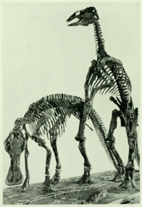 1.Over a hundred years ago, an artist created this rendering of two hadrosaurids. Now, further research on hadrosaurid skin suggests that the tail would have been significantly more muscular and that the bill would have sported some sort of crest. Depending on species and perhaps also on gender, a hadrosaur's crest could range in size and shape from a small lump to a long, bony protrusion arcing all the way back past the head.  Image from an article by H. F. Osborn in The American Museum Journal (1911), courtesy of Matthew Davis.