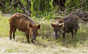 Wild pigs are a growing problem for agricultural and residential areas. Image courtesy of Wikimedia.