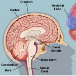 The basal ganglia are located deep near the base of the forebrain, and have important functions in motor control and procedural learning. Image courtesy of WebMD.