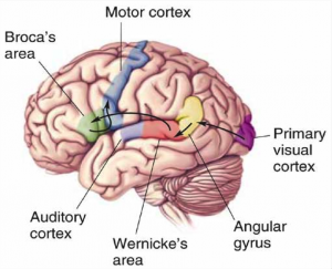The Broca's area and Wernicke's area in the brain's left hemisphere are known to have critical roles in speech production and language comprehension.  Image courtesy of Dr. Ken Pugh, Haskins Laboratories.