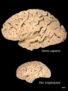 A comparison of the size of a human brain to a chimpanzee brain.