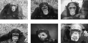 Examples of different categories of facial expressions for chimpanzees.