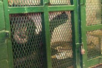 Protecting the Nonhuman from the Inhumane: Personhood and Chimpanzees