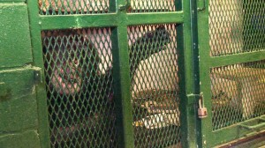 Tommy shown in the cage where he has lived for ten years.