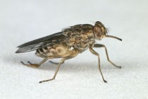 A Genome-Based Attack on the Tsetse Fly