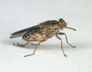 Picture 1. Tsetse Fly