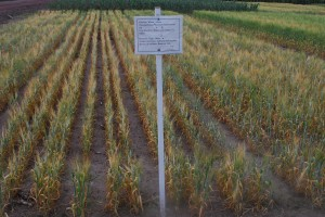 Barley suffering from drought-stress in California. Image courtesy of CIMMYT, the International Maize and Wheat Improvement Center.